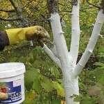 Как побелить деревья весной: Когда рекомендуется производить эти работы и состав побелки