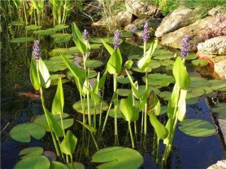 Как выбрать растения для пруда